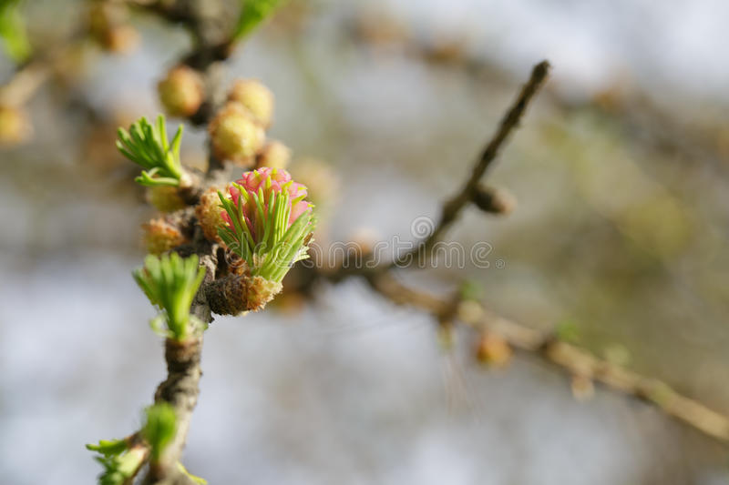 Kleine knoppen op lariksboom stock fotografie