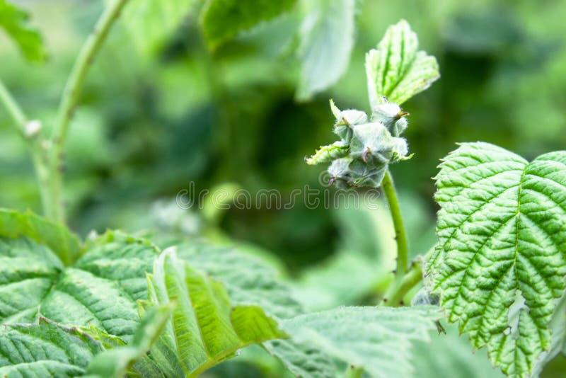 Kleine knoppen van frambozenbloemen op een tak Selectieve nadruk stock afbeelding