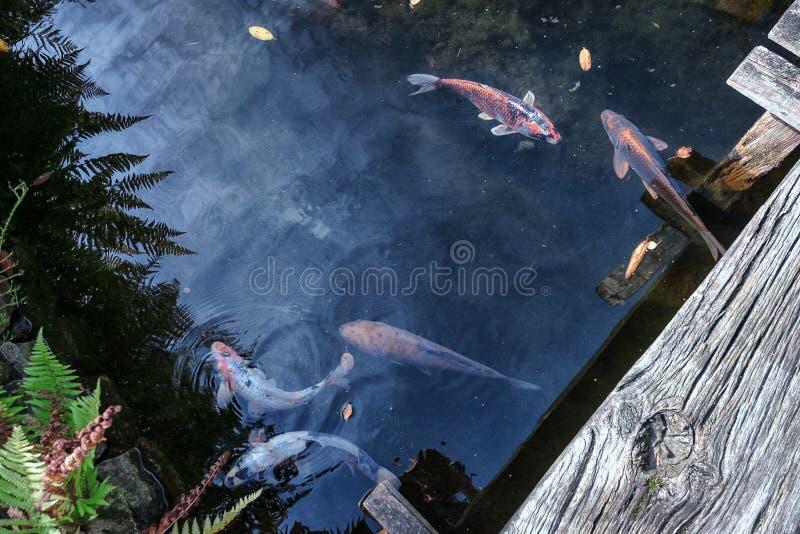 Kleine Koi-karper in de vijver van het park stock afbeeldingen