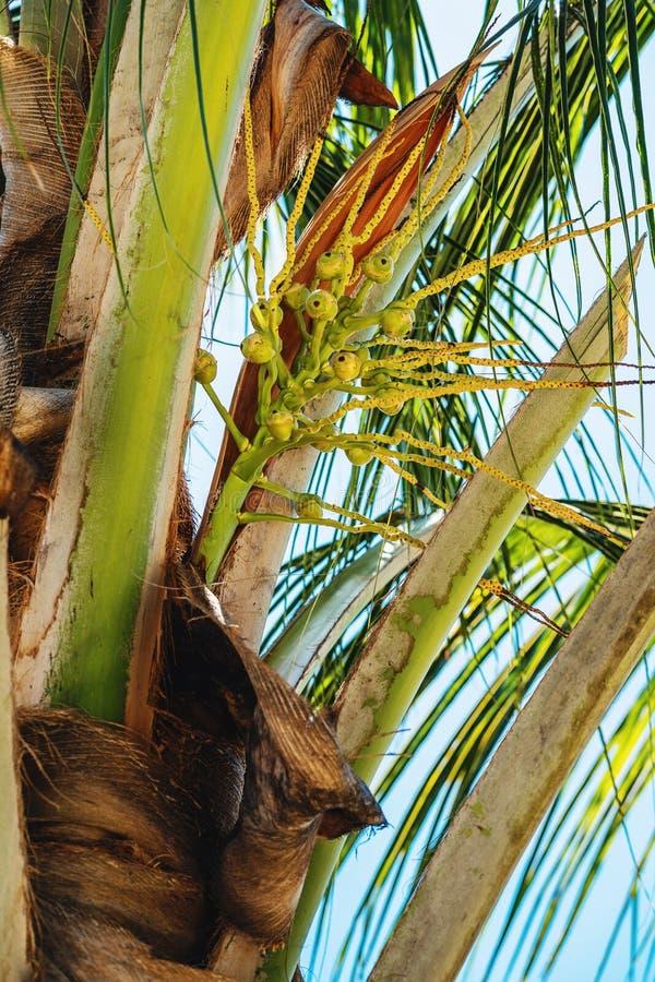 Kleine kokosnotennoten op palm royalty-vrije stock foto's