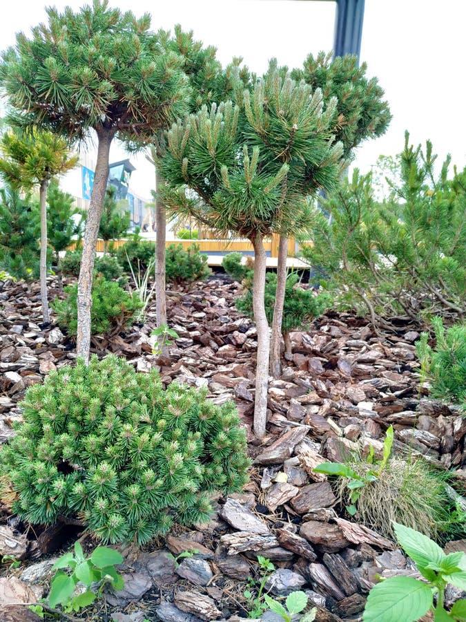 Kleine Koniferenbäume mit einem bloßen Stamm aus den Grund mit Steinen wachsen stockfotografie