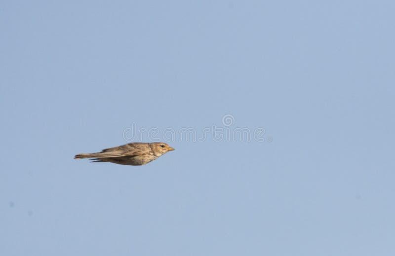 Kleine Kortteenleeuwerik, minste kort-Toed Leeuwerik, Alaudala rufes stock afbeelding