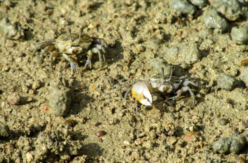 Kleine krab met een grote klauw op zand overzees strand stock foto