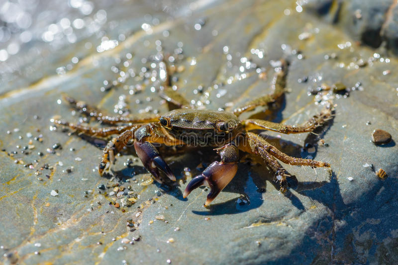 Kleine Krabbe, die auf die großen Steine kriecht lizenzfreies stockfoto