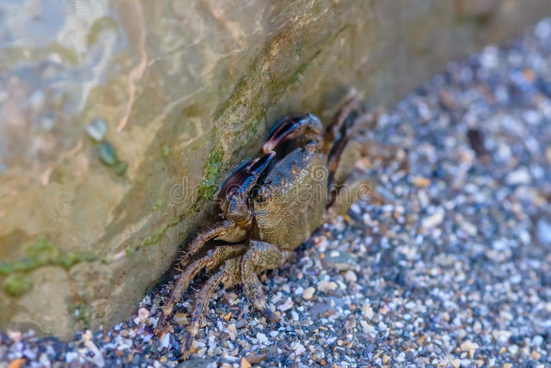 Kleine Krabbe, die hinter einem großen Stein sich versteckt lizenzfreies stockbild