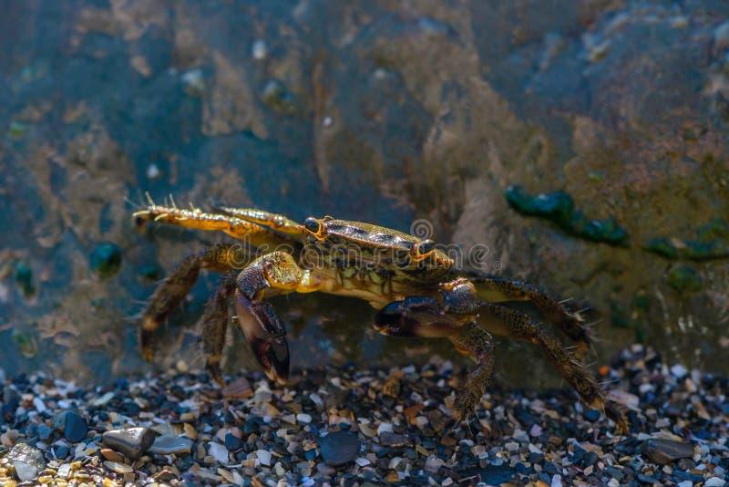 Kleine Krabbe, die hinter einem großen Stein sich versteckt stockbilder