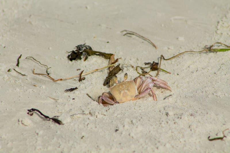 Kleine Krabbe in einem Bau lizenzfreies stockfoto