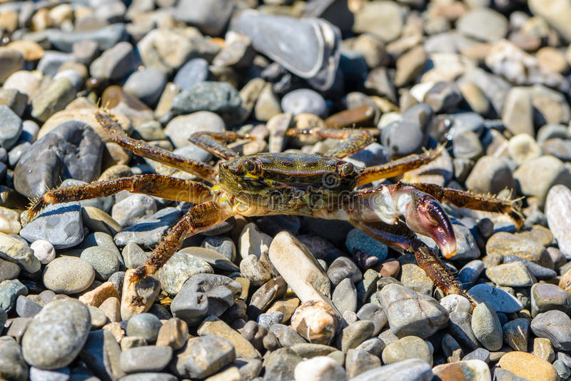 Kleine Krabbe mit einem Greifer stockbild