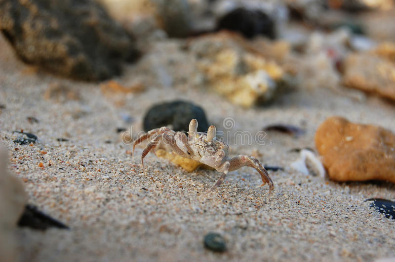Kleine Krabbe mit Greifern stockfoto