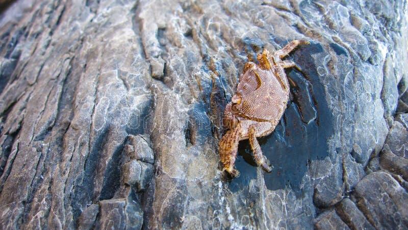 Kleine Krabben mit nassen Steinen stockfoto