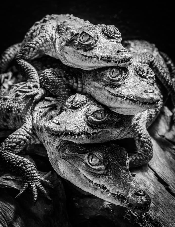 Kleine Krokodile stillstehend und gestapelt lizenzfreie stockfotos