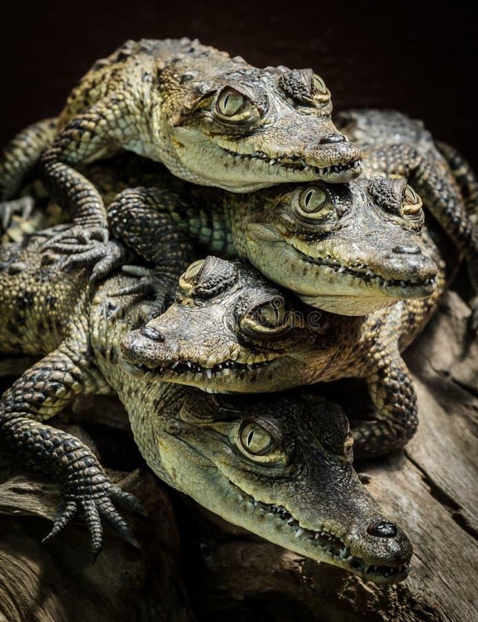 Kleine Krokodile stillstehend und gestapelt stockfotografie