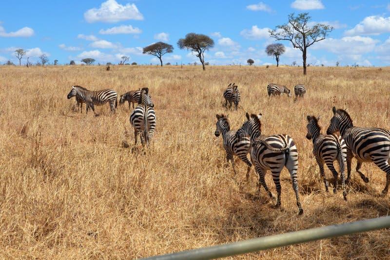 Kleine kudde van Afrikaanse zebras in Tanzania stock afbeeldingen