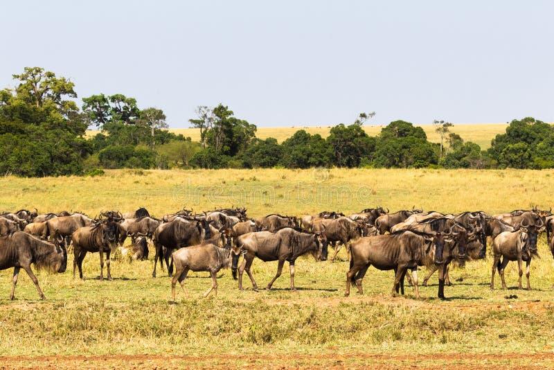 Kleine kudde van het meest wildebeest in savanne Masai Mara, Kenia stock afbeeldingen