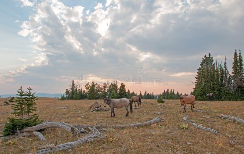 Kleine kudde van wild paarden die naast deadwoodlogboeken bij zonsondergang in de Pryor-Waaier van het Bergenwild paard in Montan royalty-vrije stock afbeelding