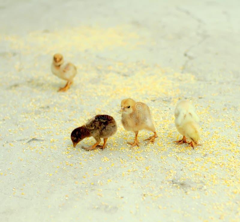 kleine kuikens Pluimveehouderij Landbouwthema stock foto's