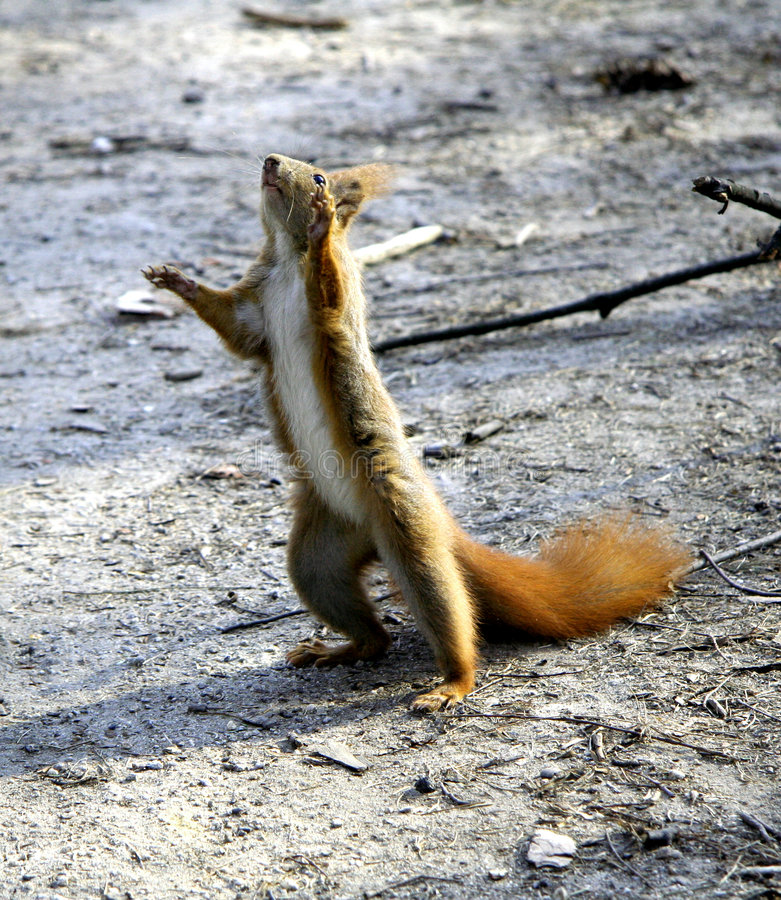 Kleine leuke eekhoorn royalty-vrije stock foto