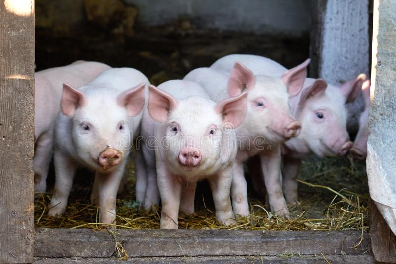 Kleine leuke varkens op het landbouwbedrijf stock afbeeldingen