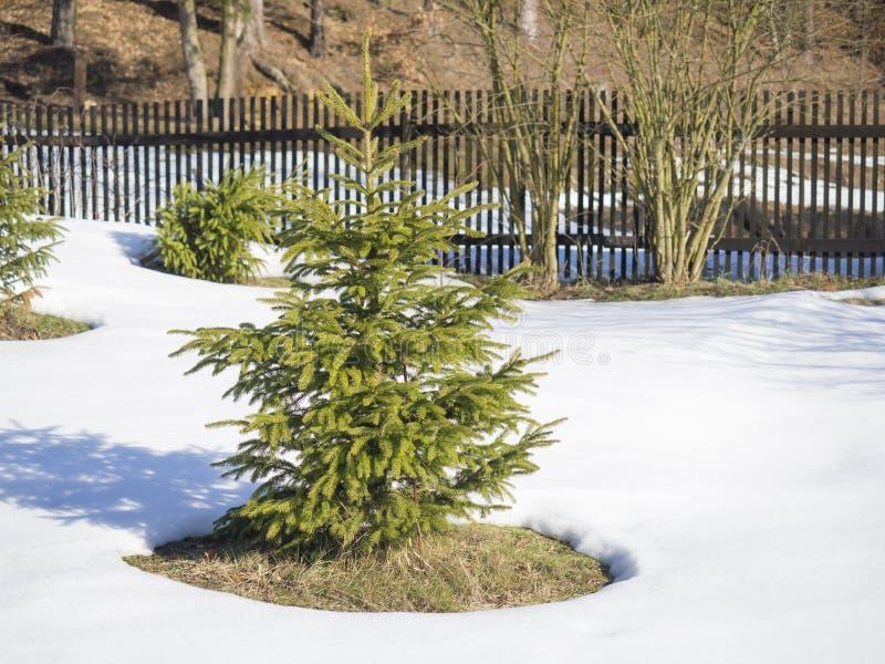 Kleine levendige groene jonge nette boom in de witte sneeuw in de winter zonnige dag met houten omheining op achtergrond De winte royalty-vrije stock afbeeldingen