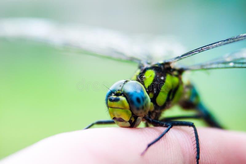 Kleine Libelle an Hand lizenzfreies stockfoto
