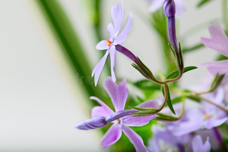 Kleine Lila Blumen Auf Einem Lichtweiß Stockfoto - Bild von ...