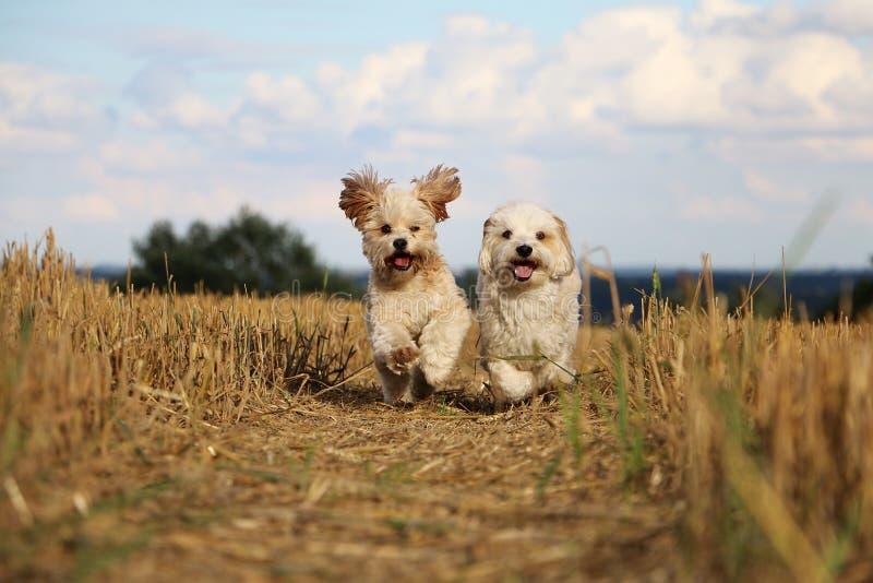 Kleine lopende honden in een stoppelveld royalty-vrije stock foto