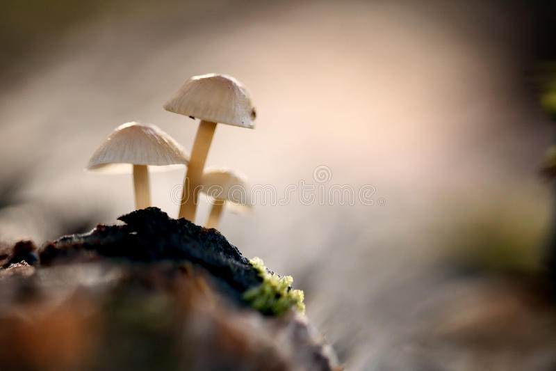 Kleine maar gevaarlijke giftige paddestoelen stock afbeeldingen