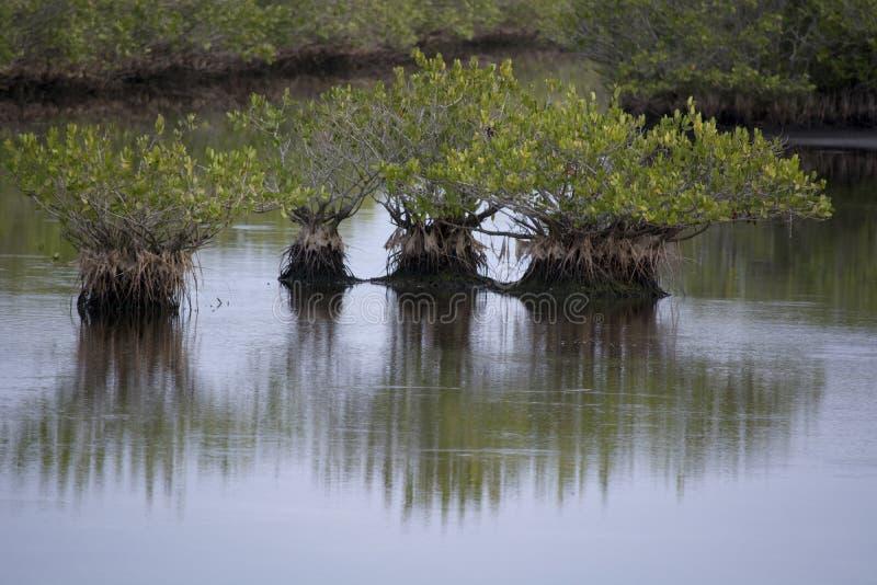 Kleine mangrovebomen in nog water met bezinning en rimpelingen royalty-vrije stock foto's