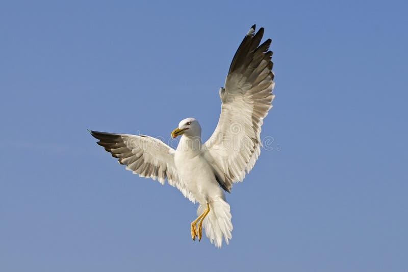 Kleine Mantelmeeuw, pouca gaivota com o dorso negro, fuscus do Larus foto de stock