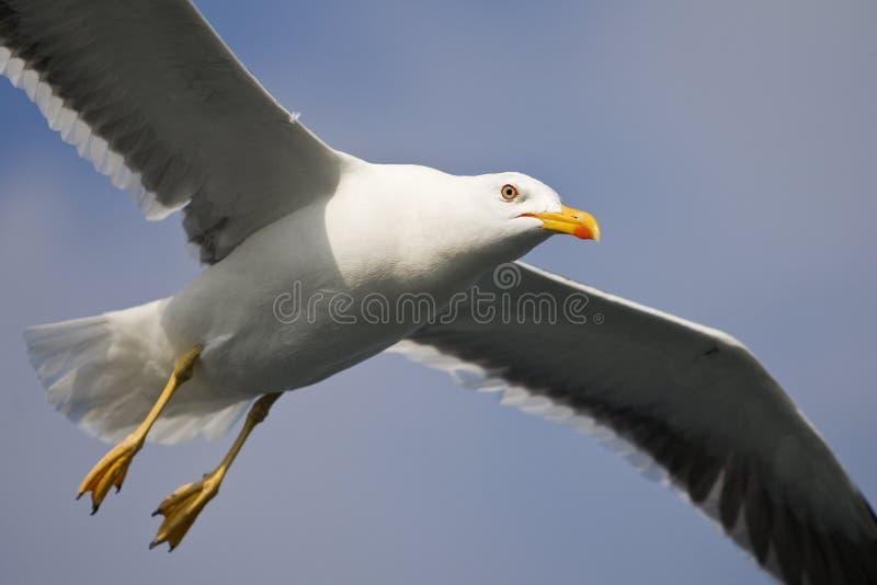 Kleine Mantelmeeuw, pouca gaivota com o dorso negro, fuscus do Larus fotografia de stock royalty free