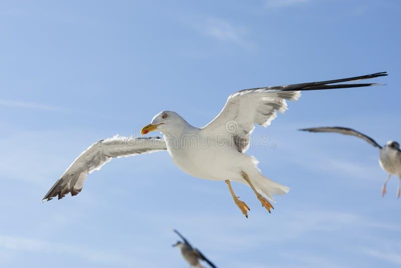 Kleine Mantelmeeuw, pouca gaivota com o dorso negro, fuscus do Larus fotografia de stock