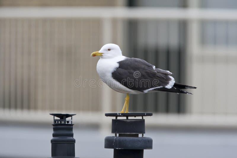 Kleine Mantelmeeuw, pouca gaivota com o dorso negro, fuscus do Larus fotos de stock royalty free