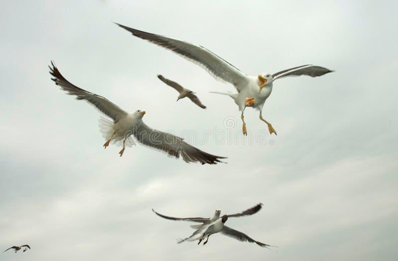 Kleine Mantelmeeuw, pouca gaivota com o dorso negro, fuscus do Larus fotos de stock