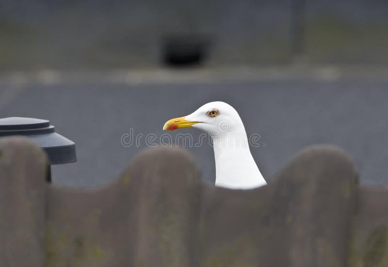 Kleine Mantelmeeuw, pouca gaivota com o dorso negro, fuscus do Larus foto de stock royalty free