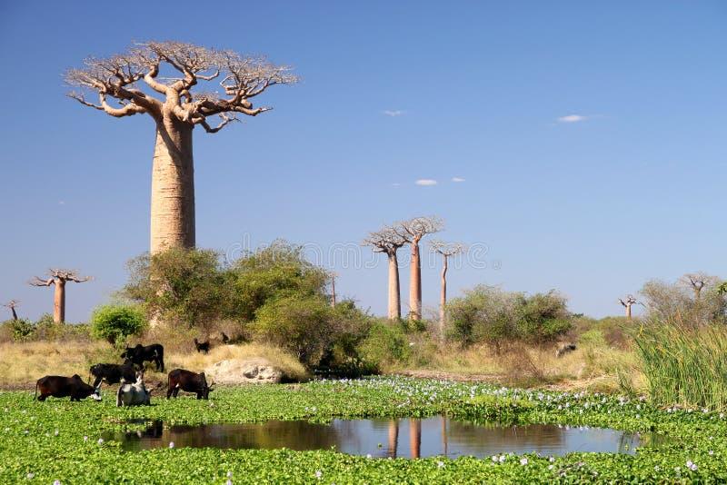 Kleine meer en baobabs royalty-vrije stock afbeelding