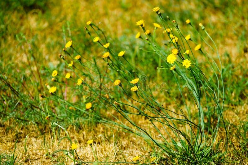 Kleine mooie gele bloemen op groen gras stock afbeelding