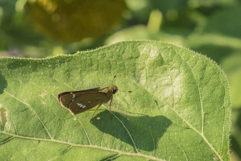 Kleine Motte auf einem enormen Grünpflanzeblatt mit klarem Mottenschatten stockbild