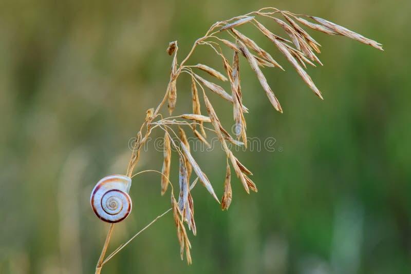 Kleine naaktslak op droog gras bij schemerclose-up royalty-vrije stock afbeelding