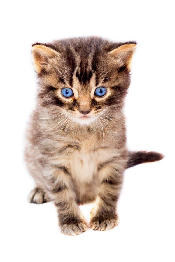 Kleine nette gestreifte Katze mit blauen Augen auf Weiß lokalisierte backgro lizenzfreie stockfotografie