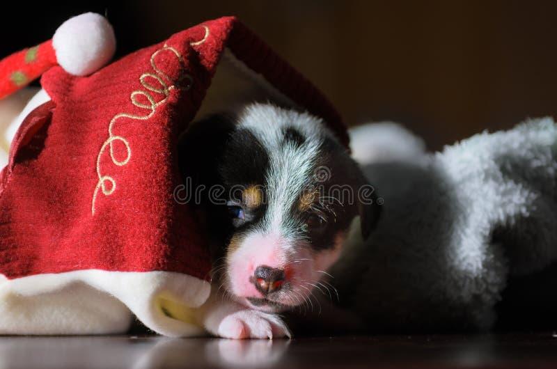 Kleine nette lustige Steckfassungsrussell-Terrierwelpen, die mit einer Pappschachtel spielen lizenzfreies stockbild