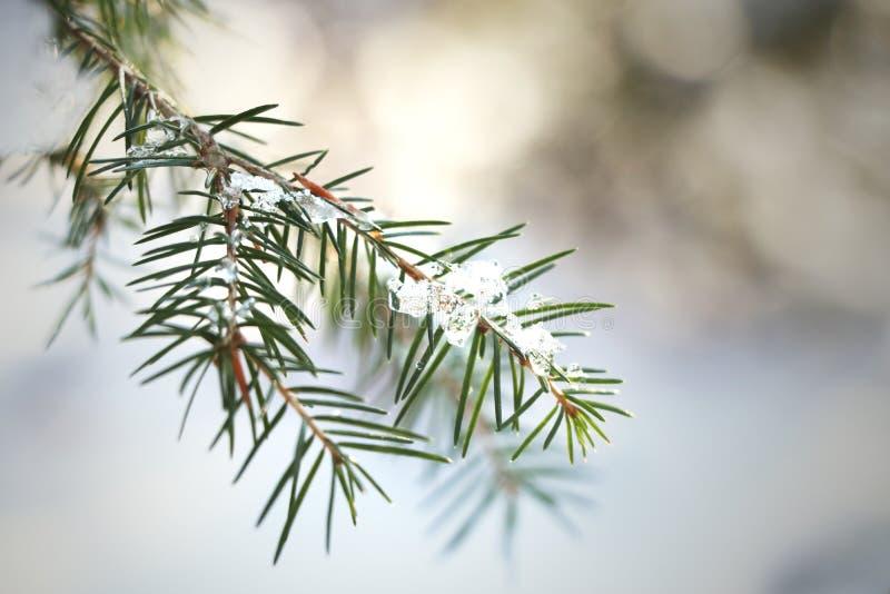Kleine Niederlassung einer Tanne mit Eis und Schnee lizenzfreie stockbilder