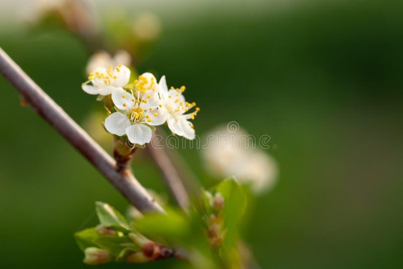 Kleine nieuwe bladeren op een tak van de kersenboom De lente in de Tuin Selectienadruk Ondiepe Diepte van Gebied royalty-vrije stock foto's