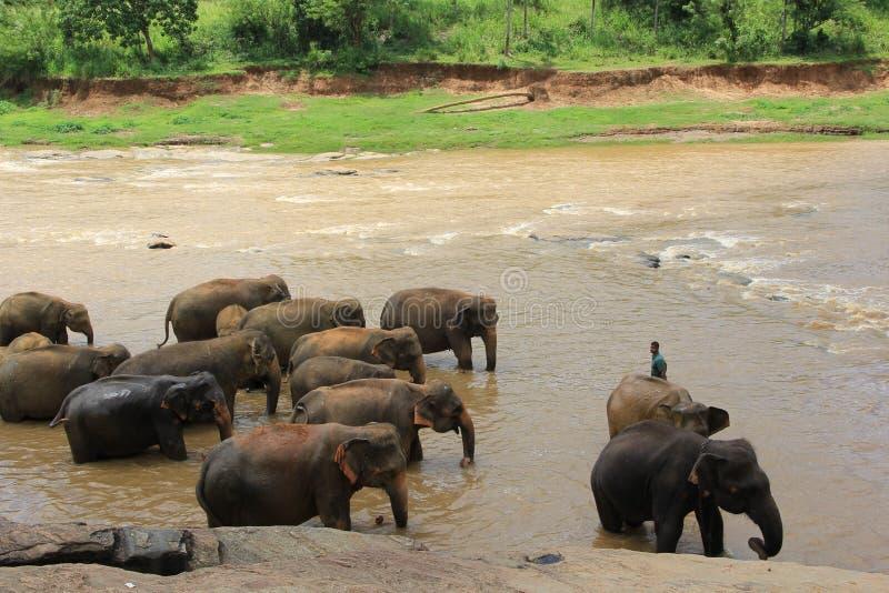 Kleine olifanten in vijver Sri Lanka stock afbeeldingen