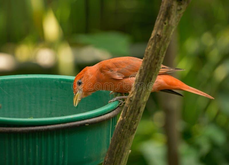 Kleine orange Vogel-Fütterung lizenzfreie stockfotos