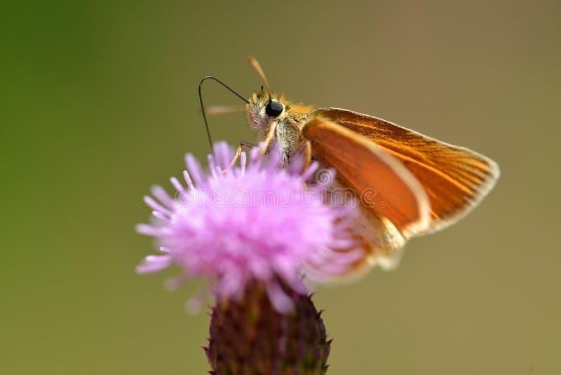 Kleine oranje lineola van de Kapiteinsthymelicus van vlinderessex royalty-vrije stock fotografie