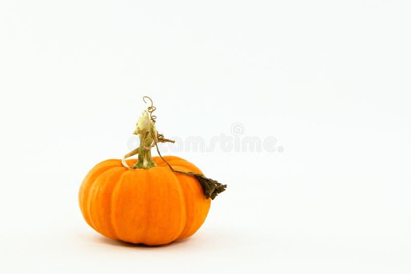 Kleine oranje pompoen met capricieuze, krullende stam royalty-vrije stock afbeeldingen