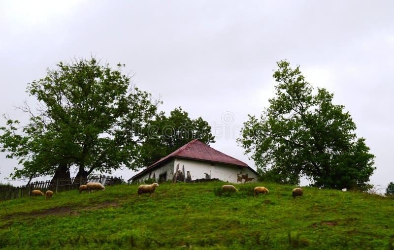 kleine oude huis en schapen stock fotografie