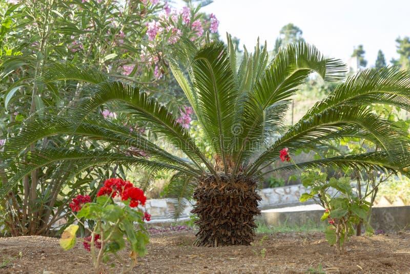 Kleine palm in een exotische tuin, populaire installaties voor het verfraaien van en het creëren van exotische tuinen royalty-vrije stock afbeeldingen