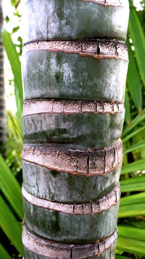 Kleine Palmboomstam royalty-vrije stock afbeelding