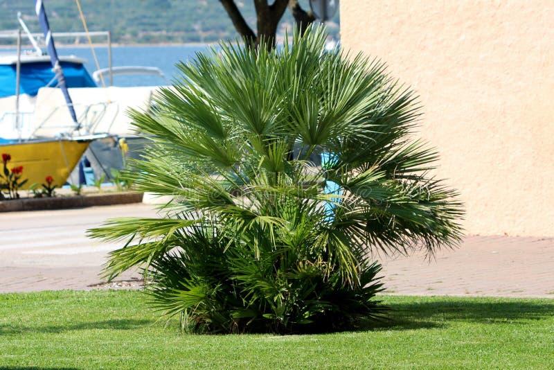 Kleine Palme geformt wie ein Busch umgeben mit frisch geschnittenem Gras und Booten im Hintergrund lizenzfreie stockbilder